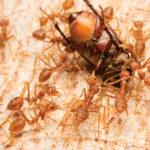 Ação inseticida em inimigos naturais
