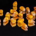 Competição larval em grãos armazenados