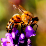Declínio das abelhas